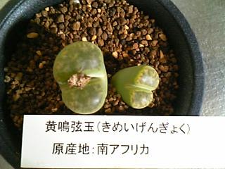 Lithops bromfieldii var. insularis cv. Sulphurea