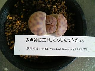 Lithops dinteri ssp. multipunctata