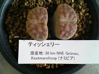 Lithops karasmontana var. tischeri