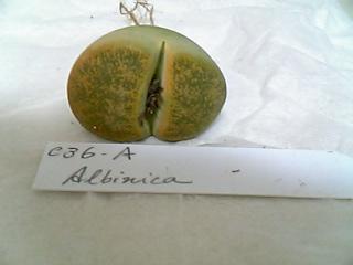 Lithops lesliei 'Albinica' C36A