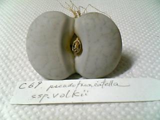 Lithops pseudotruncatella ssp. volkii C69