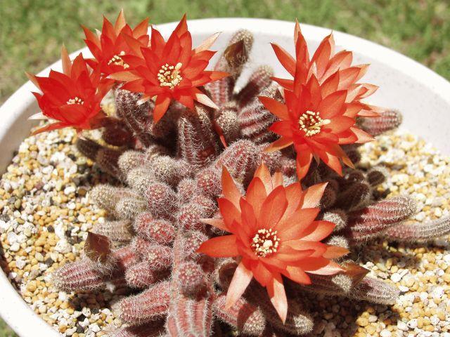 Chamaecereus silvestrii flower