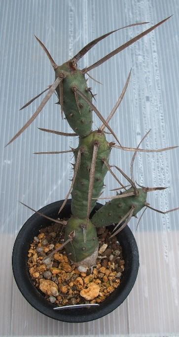 Tephrocactus platyacanthus var. deflexispinus