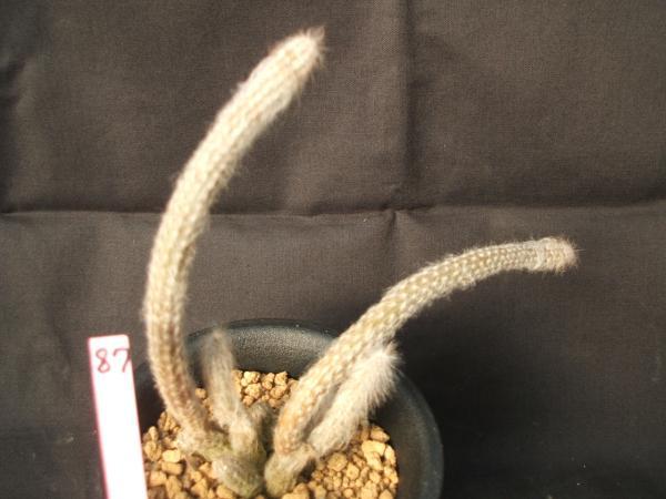 Wilcoxia schmollii