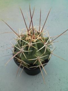 Ferocactus emoryi var. rectispinus