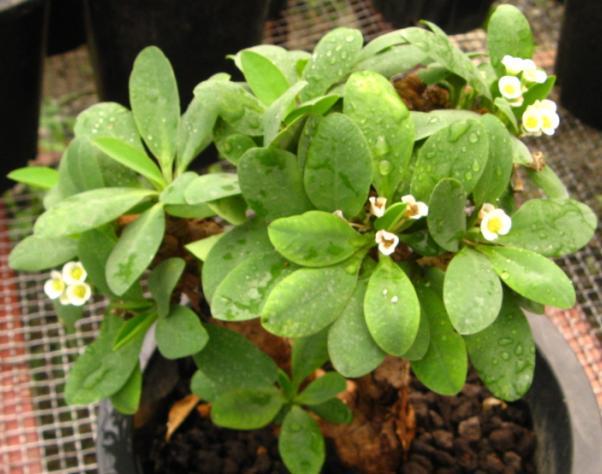 Euphorbia itremensis
