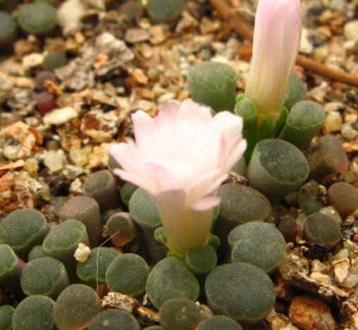 Frithia humilis flower