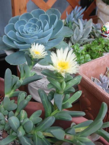 Delosperma lehmannii flower