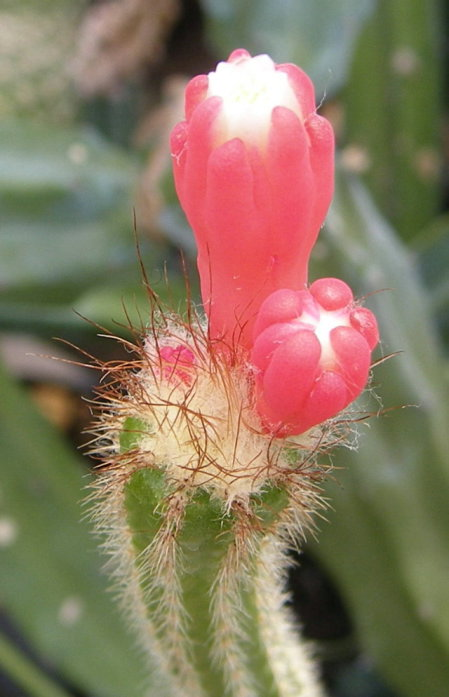 Arrojadoa albicoronaria HU611