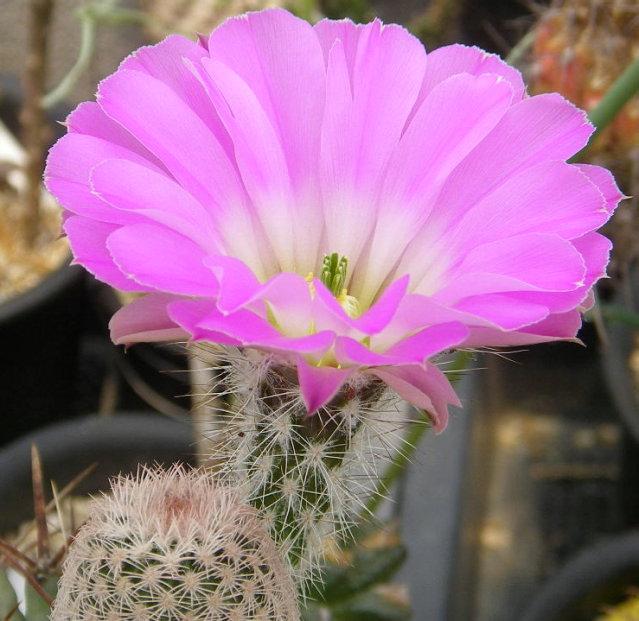 Echinocereus primolanatus SB1037