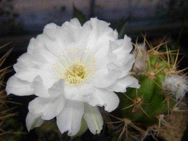 Lobivia caineana white flower