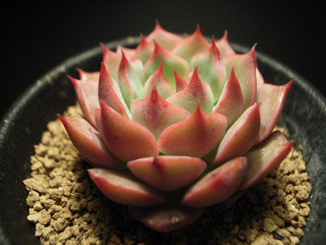 Echeveria cv. Painted Lady の写真