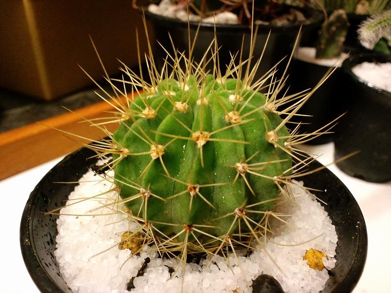 Acanthocalycium spiniflorum var. violaceum
