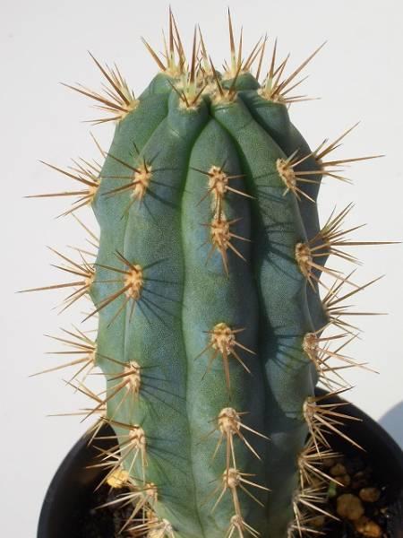 Azureocereus hertlingianus