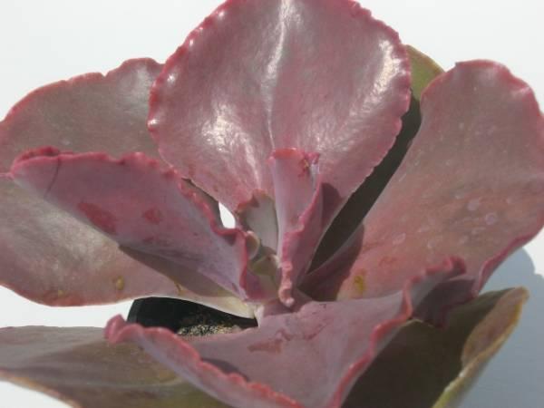 Echeveria cv. Early Light