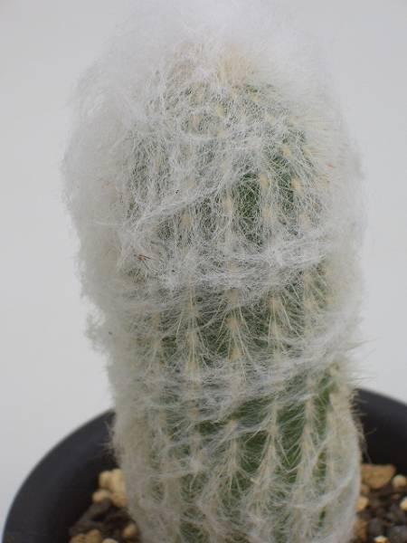 Espostoa huanucensis
