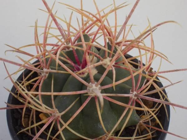 Ferocactus cylindraceus