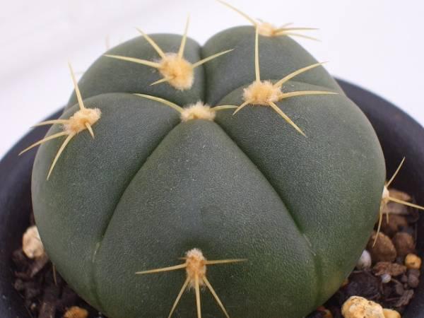 Gymnocalycium buenekeri