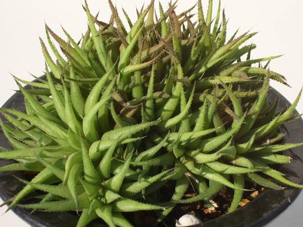 Haworthia angustifolia var. liliputana