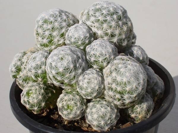 Mammillaria humboldtii var. caespitosa