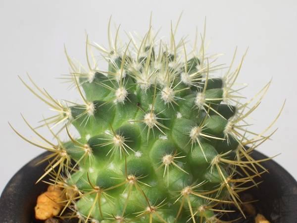 Mammillaria rhodantha var. silphurea