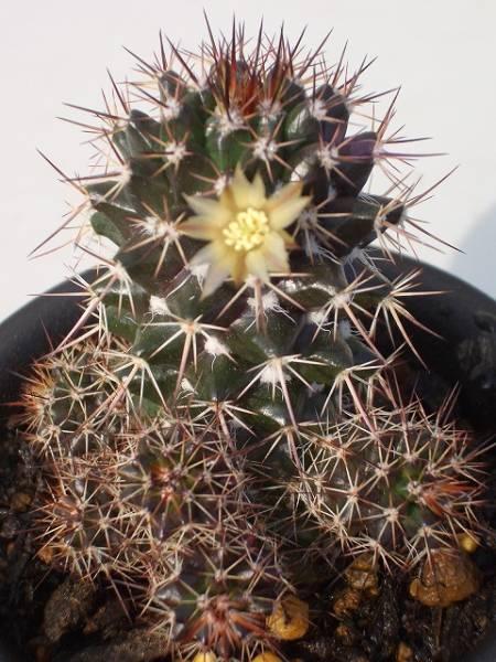Mammillaria woburnensis