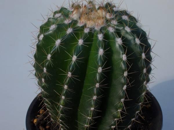 Notocactus horstii var. pupureus