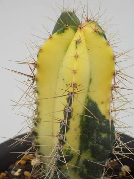 Ritterocereus histrix 翡翠閣錦
