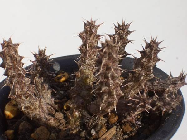 Stapelianthus madagascariensis