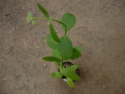 Hylottelephium verticillatum var. nipponicum