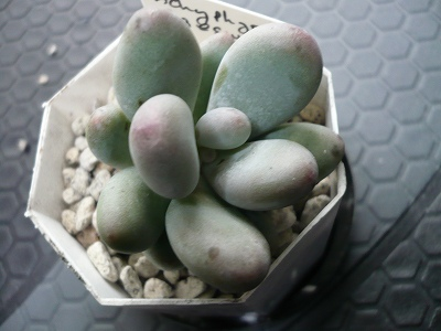 Pachyphytum caesium