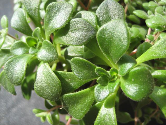 Aichryson bethencourtianum