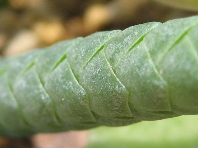 Crassula ericoides