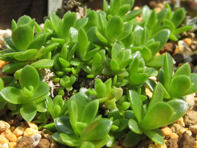 Orostachys aggregeata