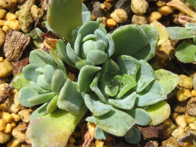 Rosularia libanotica