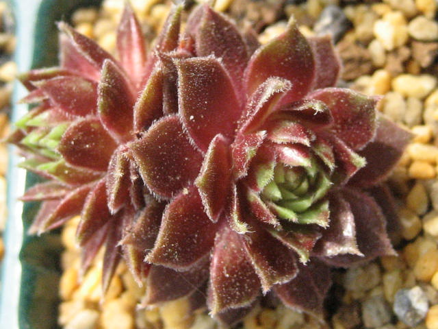 Sempervivum  'Pacific Hep'