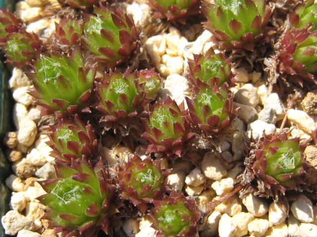 Sempervivum arachnoideum 'Hookeri'