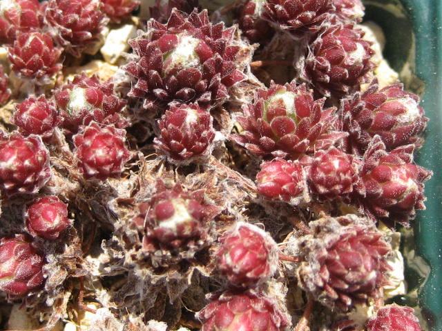 Sempervivum arachnoideum f.album