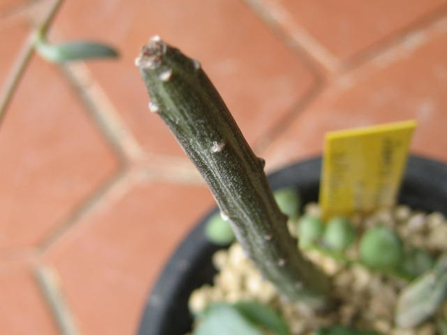 Senecio stapeliformis var. minor