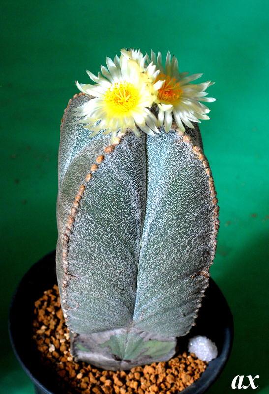 Astrophytum myriostigma var. quadricostatum