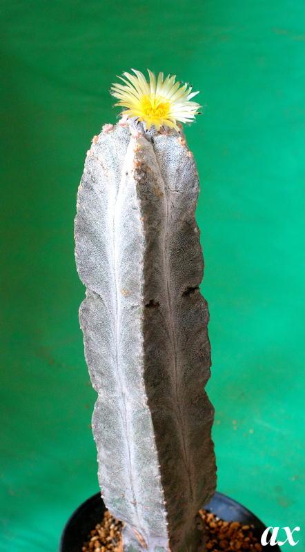 Astrophytum myriostigma var. colmnare