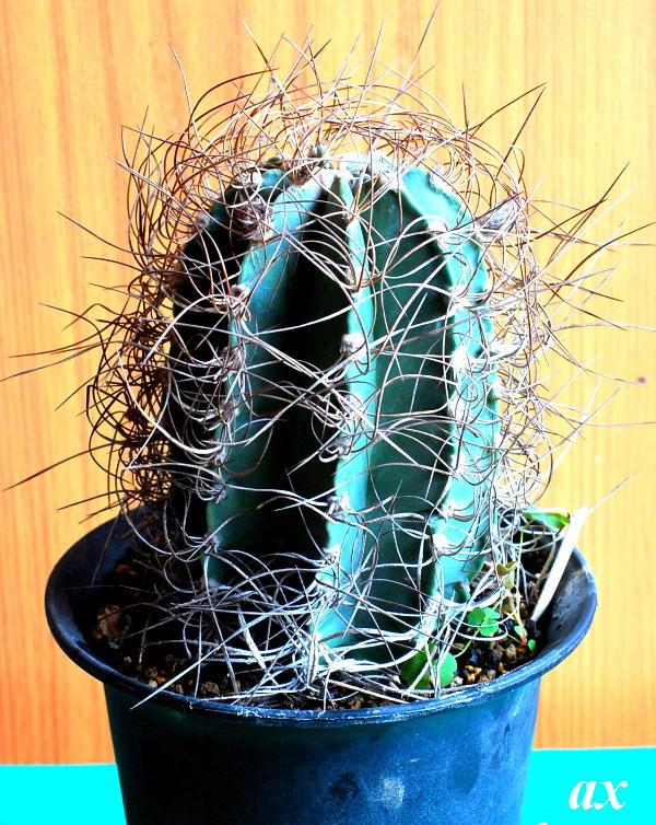 Astrophytum senile f.aureum